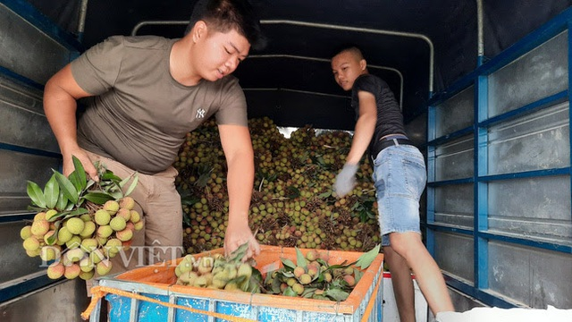 Quảng Ninh: Bội thu vải chín sớm, thương lái kéo về mua nườm nượp, nông dân thu tiền tỷ - 3
