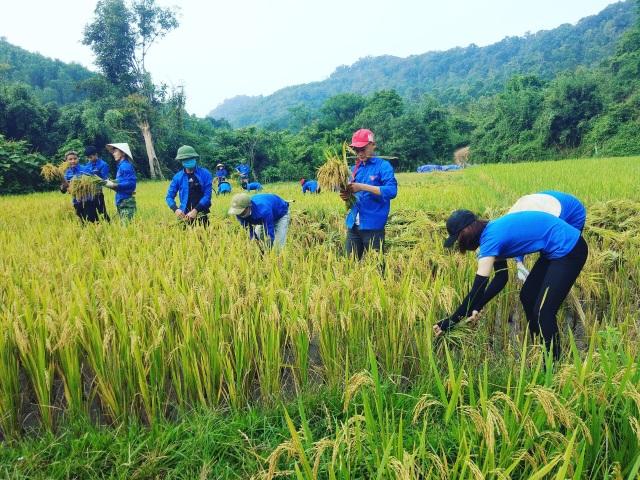 Thanh niên tình nguyện xứ Nghệ đội nắng giúp dân thu hoạch lúa mùa - 1