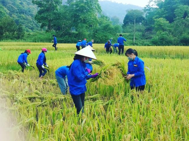 Thanh niên tình nguyện xứ Nghệ đội nắng giúp dân thu hoạch lúa mùa - 2