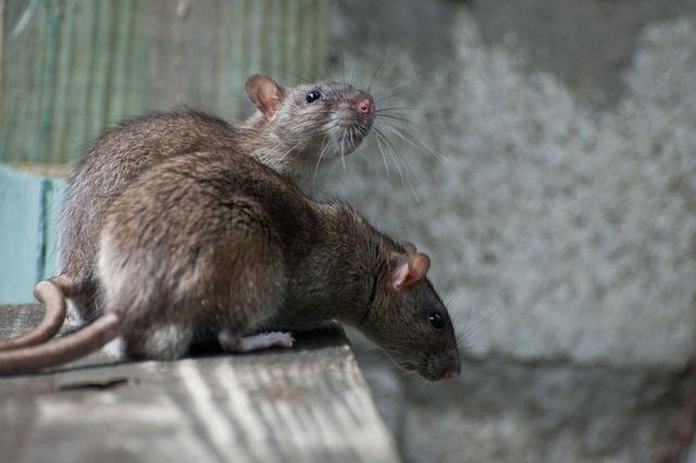 Xuất hiện chủng virus gây bệnh viêm gan E ở người có thể lây nhiễm từ chuột - 1