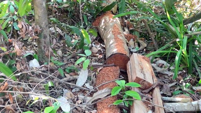 """Khởi tố vụ án """"lâm tặc"""" mở đường vào phá rừng ở Phú Yên! - 4"""