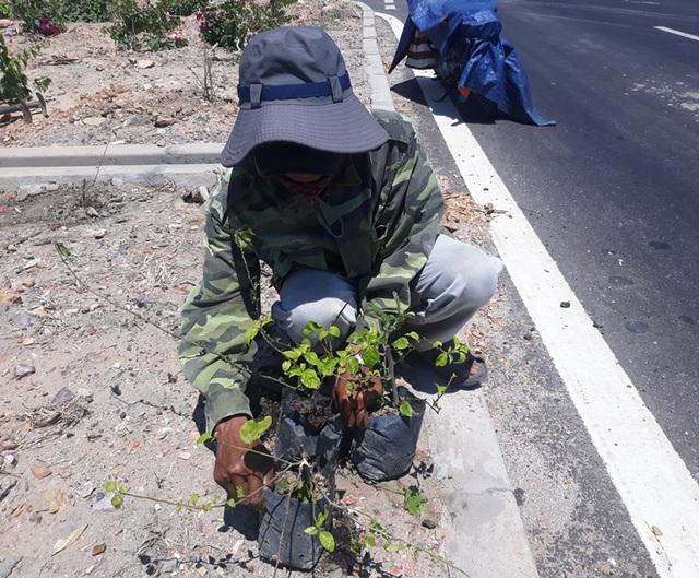 Hàng nghìn gốc hoa giấy trên quốc lộ 4.400 tỷ bị nhổ trộm - 9