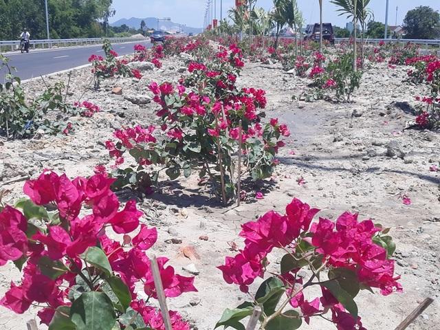 Hàng nghìn gốc hoa giấy trên quốc lộ 4.400 tỷ bị nhổ trộm - 1