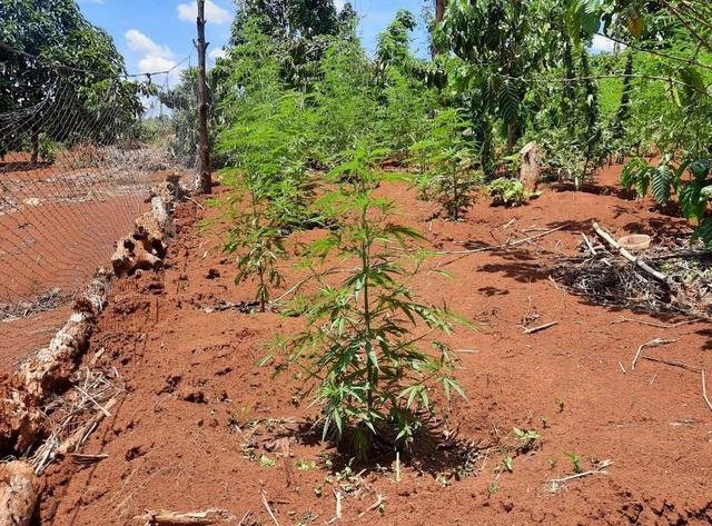 Người đàn ông trồng hơn 1.000 cây cần sa trong rẫy vắng - 1