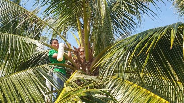 Massage hoa dừa để... lấy mật, 1 hoa chảy ra 25 lít, kiếm 250.000 đồng - 2