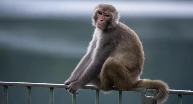 Thử nghiệm thành công vắc-xin chống lại Covid-19 trên khỉ - 1