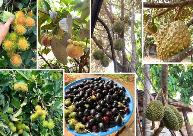 Vườn trái cây trĩu quả của gia đình diễn viên Lê Phươngở Tây Ninh - 2