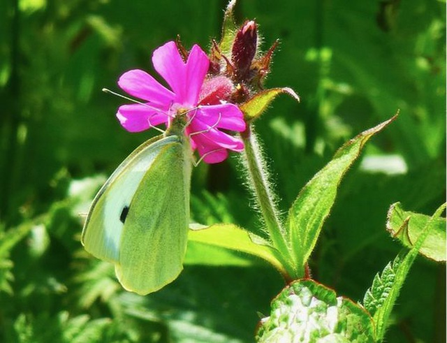 Vai trò bí mật của bướm đêm - 2