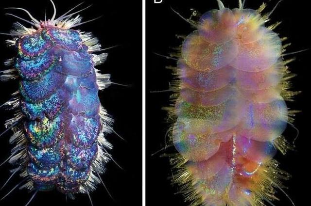 Phát hiện bốn loài sâu biển mới - 1