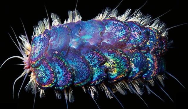 Phát hiện bốn loài sâu biển mới - 2