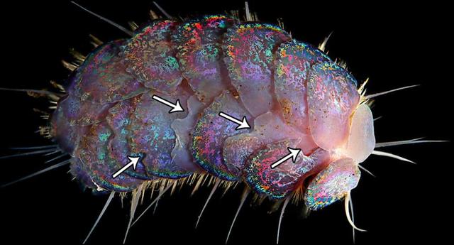Phát hiện bốn loài sâu biển mới - 5