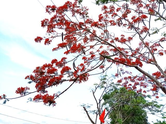 Rực sắc hoa phượng vĩ đường về Đền thờ Bác Hồ những ngày tháng 5 - 5