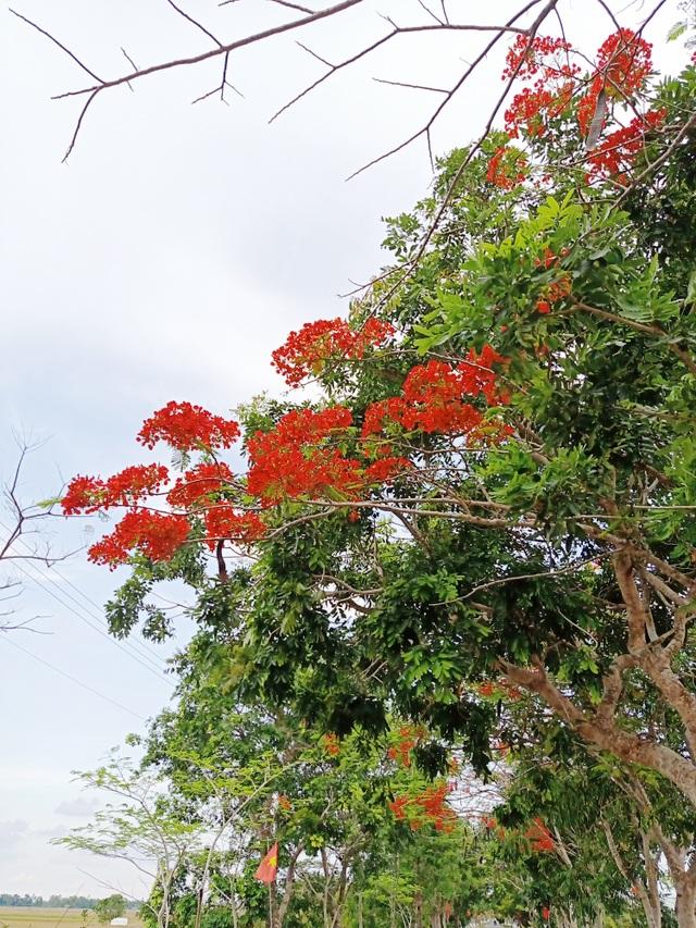 Rực sắc hoa phượng vĩ đường về Đền thờ Bác Hồ những ngày tháng 5 - 7