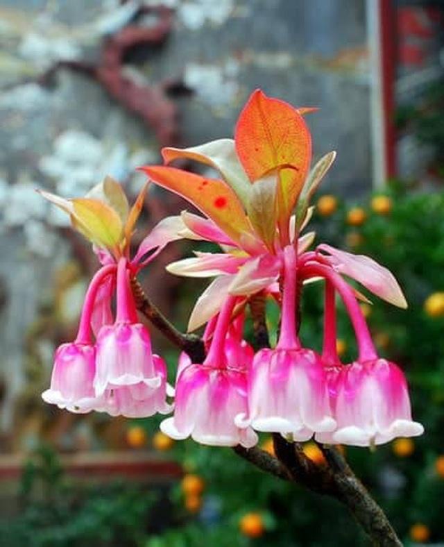 Lạng Sơn: Kiếm bộn tiền nhờ ghép cây đào chuông quý hiếm ra hoa đẹp, độc, lạ. - 2