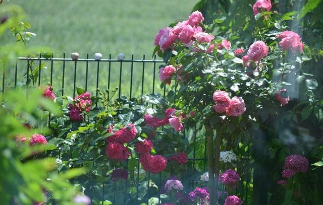 Ngôi nhà tràn ngập sắc hoa hồng tuyệt đẹp của mẹ Việt ở Đức - 8