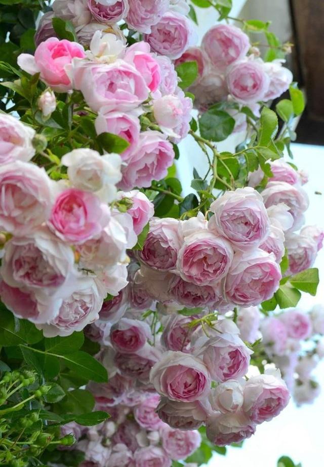 Ngôi nhà tràn ngập sắc hoa hồng tuyệt đẹp của mẹ Việt ở Đức - 6