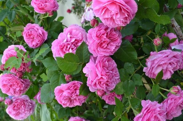 Ngôi nhà tràn ngập sắc hoa hồng tuyệt đẹp của mẹ Việt ở Đức - 7
