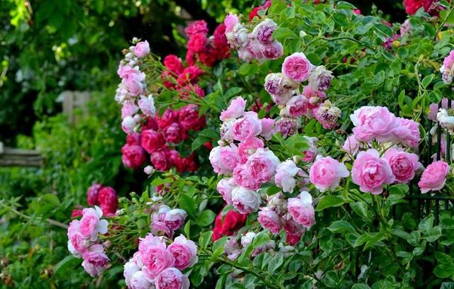 Ngôi nhà tràn ngập sắc hoa hồng tuyệt đẹp của mẹ Việt ở Đức - 5