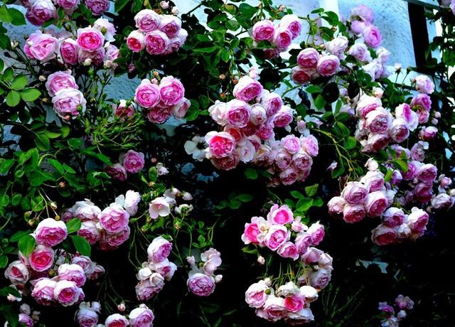 Ngôi nhà tràn ngập sắc hoa hồng tuyệt đẹp của mẹ Việt ở Đức - 4