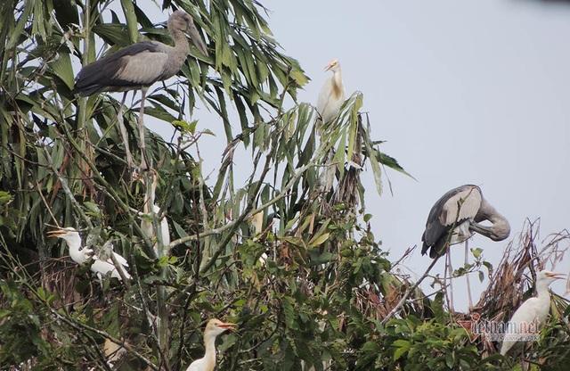 Kỳ lạ, vườn cây bỏ hoang của lão nông miền Tây có hàng nghìn con cò quý hiếm - 10