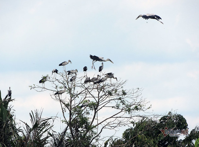 Kỳ lạ, vườn cây bỏ hoang của lão nông miền Tây có hàng nghìn con cò quý hiếm - 11