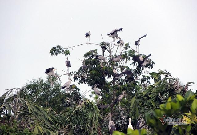 Kỳ lạ, vườn cây bỏ hoang của lão nông miền Tây có hàng nghìn con cò quý hiếm - 13