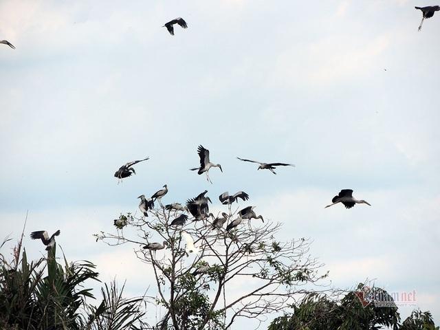 Kỳ lạ, vườn cây bỏ hoang của lão nông miền Tây có hàng nghìn con cò quý hiếm - 14