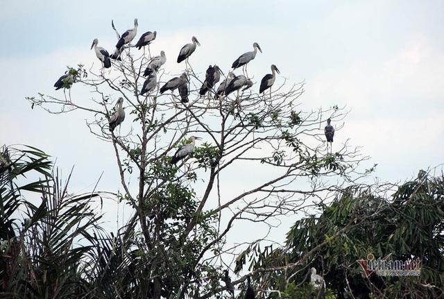 Kỳ lạ, vườn cây bỏ hoang của lão nông miền Tây có hàng nghìn con cò quý hiếm - 1