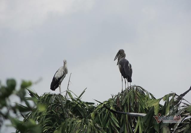 Kỳ lạ, vườn cây bỏ hoang của lão nông miền Tây có hàng nghìn con cò quý hiếm - 3