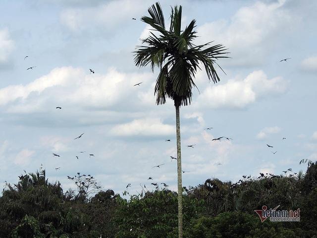 Kỳ lạ, vườn cây bỏ hoang của lão nông miền Tây có hàng nghìn con cò quý hiếm - 6
