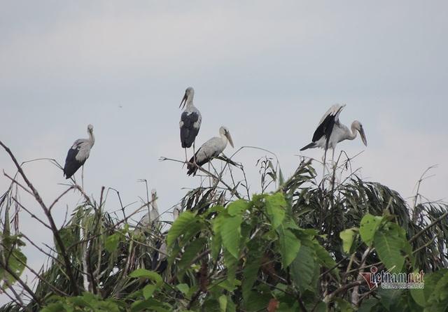 Kỳ lạ, vườn cây bỏ hoang của lão nông miền Tây có hàng nghìn con cò quý hiếm - 7