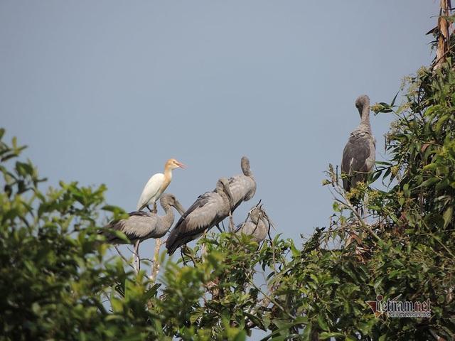 Kỳ lạ, vườn cây bỏ hoang của lão nông miền Tây có hàng nghìn con cò quý hiếm - 8