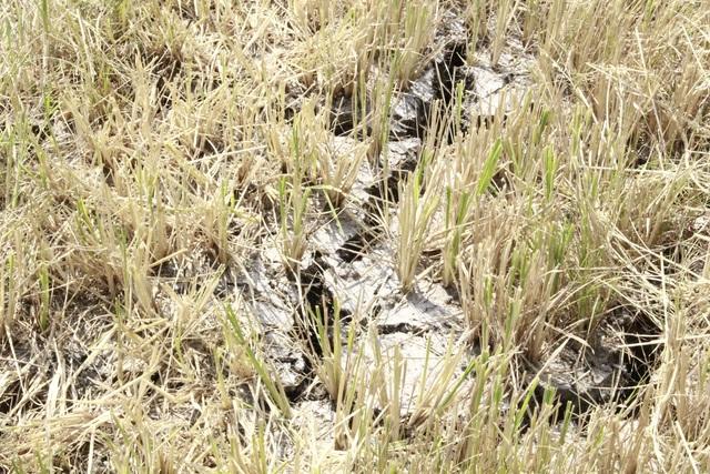 Hạn hán khốc liệt tại Đắk Lắk - 6