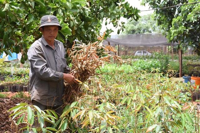Dân tố hàng ngàn cây sầu riêng giống bị chết khô sau khi bón phân - 1