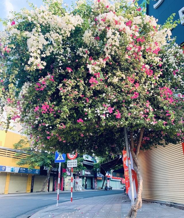 Nha Trang: Hoa giấy rực rỡ khắp các nẻo đường - 4