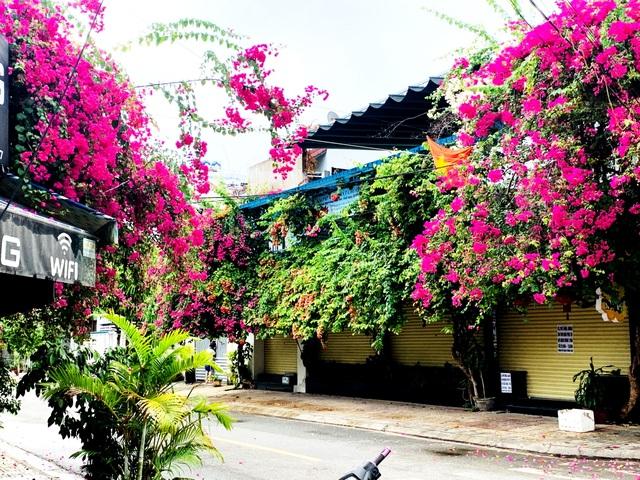 Nha Trang: Hoa giấy rực rỡ khắp các nẻo đường - 2