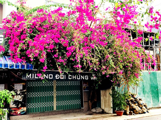 Nha Trang: Hoa giấy rực rỡ khắp các nẻo đường - 6