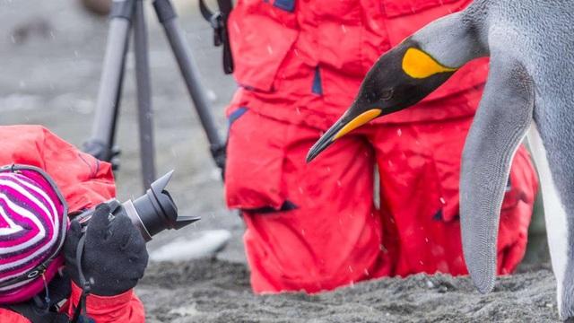 """Phân chim cánh cụt tạo ra khí cười khiến các nhà khoa học """"say"""" - 1"""