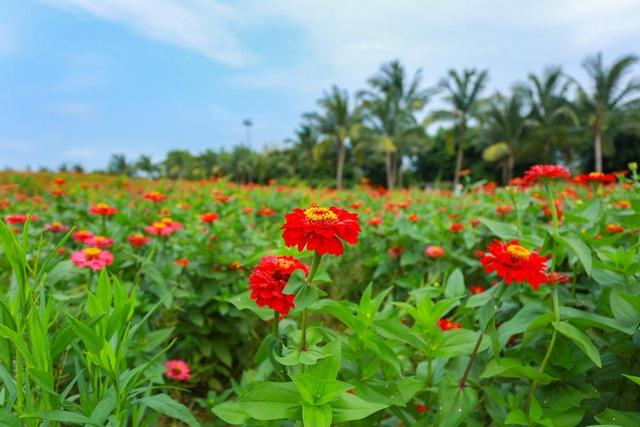 Cánh đồng hoa đẹp như cổ tích trong thành phố triệu cây xanh gần Hà Nội - 5