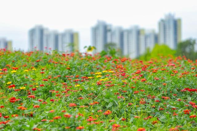Cánh đồng hoa đẹp như cổ tích trong thành phố triệu cây xanh gần Hà Nội - 8