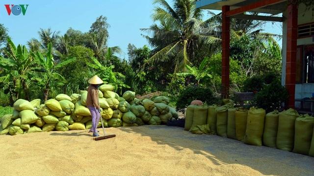"""Nghề """"hot"""" ở Cà Mau: Tải lúa thuê kiếm tiền triệu mỗi ngày - 15"""