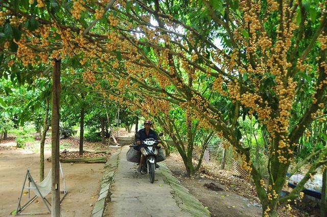 Đã mắt với vườn dâu trái từ gốc đến ngọn ở miền Tây - 10