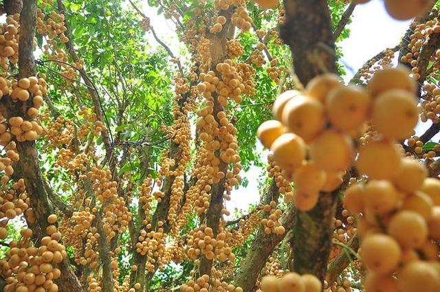 Đã mắt với vườn dâu trái từ gốc đến ngọn ở miền Tây - 6
