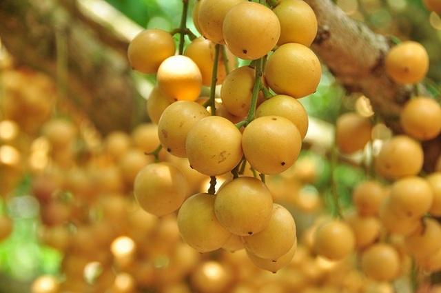 Đã mắt với vườn dâu trái từ gốc đến ngọn ở miền Tây - 7