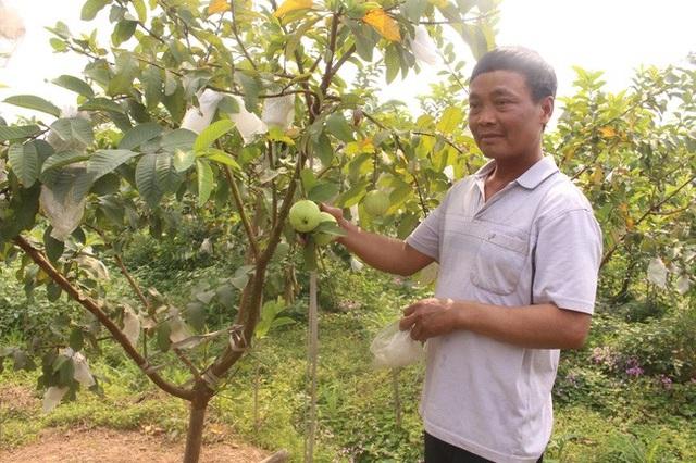 Bí quyết chăm ổi lê Đài Loan ra trái ngọt, giòn, thu về tiền tỷ - 1