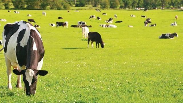 """Sữa bò """"hữu cơ kép"""" - 2"""