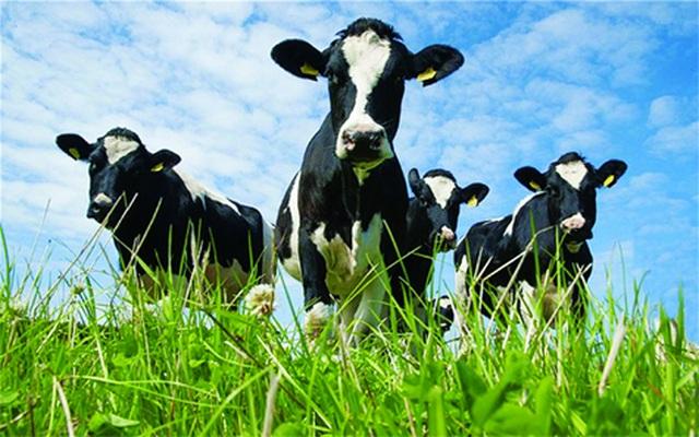 """Sữa bò """"hữu cơ kép"""" - 3"""