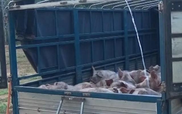 Quảng Trị: Buôn bán, vận chuyển lợn trái phép ở khu vực biên giới phức tạp - 1
