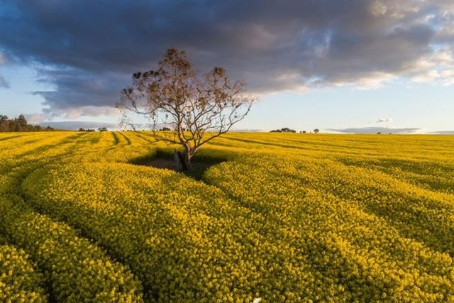 """Khoa học chiến thắng - Cây trồng biến đổi gen được """"bật đèn xanh"""" ở Nam Úc - 1"""