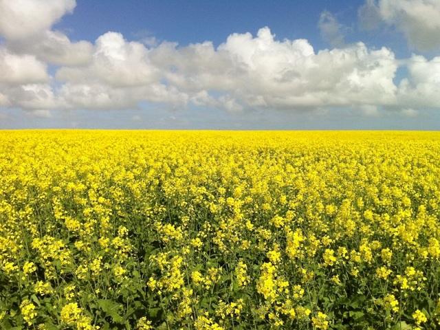 """Khoa học chiến thắng - Cây trồng biến đổi gen được """"bật đèn xanh"""" ở Nam Úc - 2"""